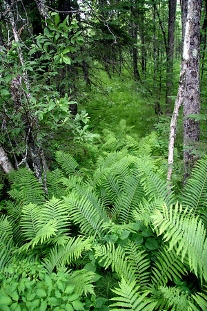 Mature Ostrich Ferns