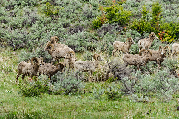Rocky Mountain Sheep on Washburn Range, Yellowstone NP (28 May 2012)