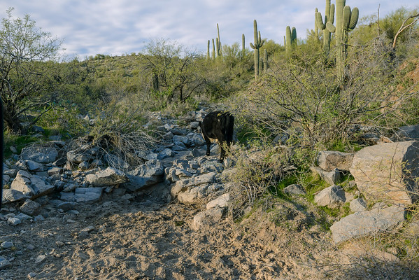 Cattle Grazing In The Mineral Mountains, Florence AZ (January 2014)