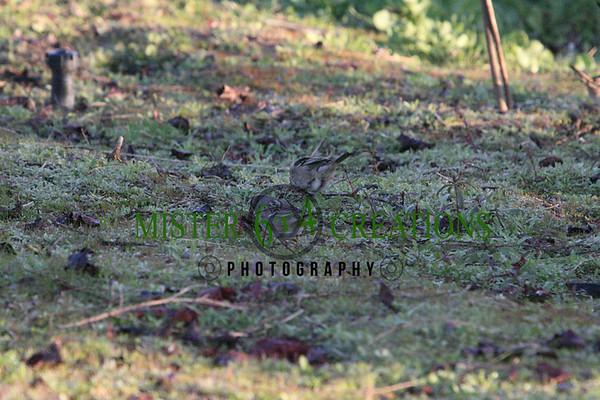 Millerton Lake - Bald Eagle Nesting