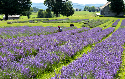 Lavenlair Farm, Whitehall, NY