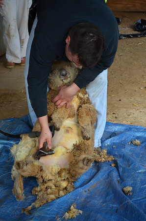 Sheep Shearing and More-Mar 2015