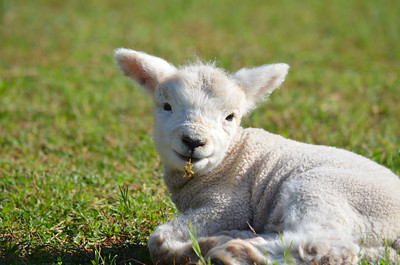 Lamb Day April 2015