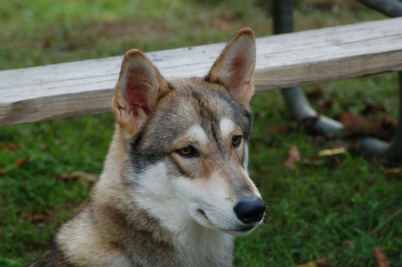 Male wolf (Timber) of one of the knappers.