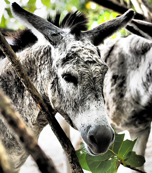 mangrove donkey<br /> <br /> Cinnamon Bay Campground<br /> St. John, USVI<br /> March 2013