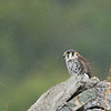 lone American Kestrel in the rain<br /> Annaberg ruins<br /> <br /> St. John, USVI<br /> March 2013