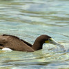 Brown Booby<br /> Salt Pond Bay<br /> <br /> St. John, USVI<br /> March 2013