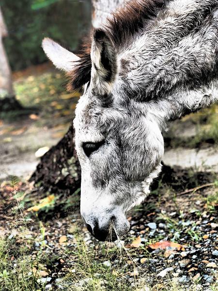 Donkey<br /> <br /> Cinnamon Bay Campground<br /> St. John, USVI<br /> March 2013