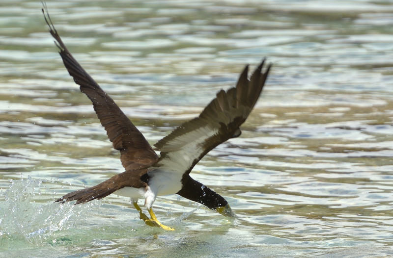 Brown booby going for a snack<br /> <br /> Salt Pond Bay<br /> St. John, USVI<br /> March 2013