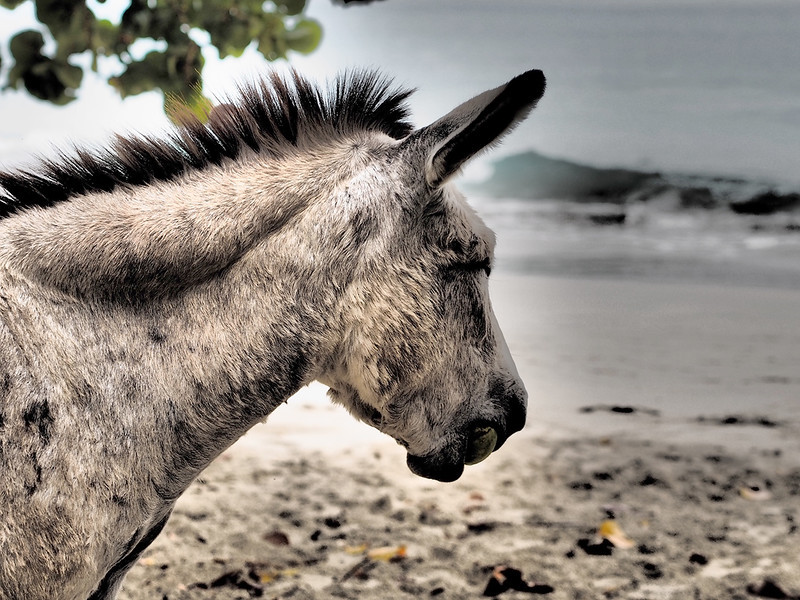 beach donkey<br /> <br /> Cinnamon Bay Campground<br /> St. John, USVI<br /> March 2013