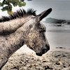 beach donkey<br /> <br /> Cinnamon Bay Campground<br /> St. John, USVI<br /> March 2013