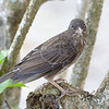 Penetrating gaze of the Pearly-eyed Thrasher<br /> <br /> Cinnamon Bay Campground<br /> St. John, USVI<br /> March 2013