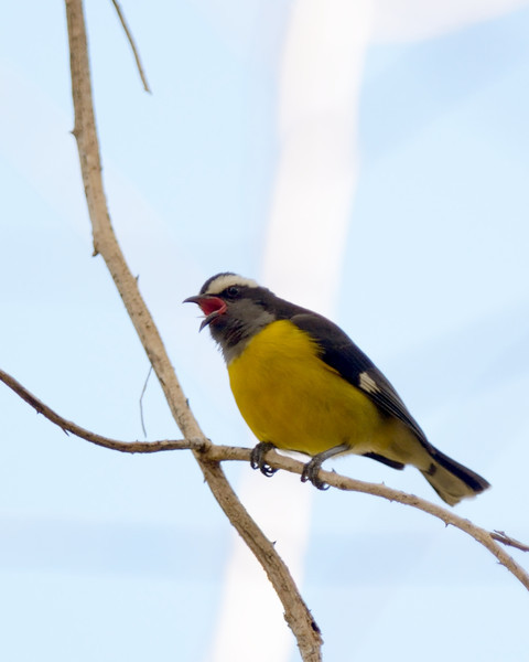 singing Bananaquit<br /> Francis Bay Trail<br /> <br /> St. John, USVI<br /> March 2013