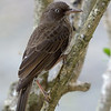 Pearly-eyed Thrasher portrait<br /> <br /> Cinnamon Bay Campground<br /> St. John, USVI<br /> March 2013