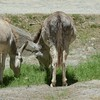 the semi-wild donkeys of Cinnamon Bay<br /> <br /> St. John, USVI<br /> March 2013