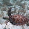 Green Turtle<br /> Salt Pond Bay<br /> <br /> St. John, USVI<br /> March 2013