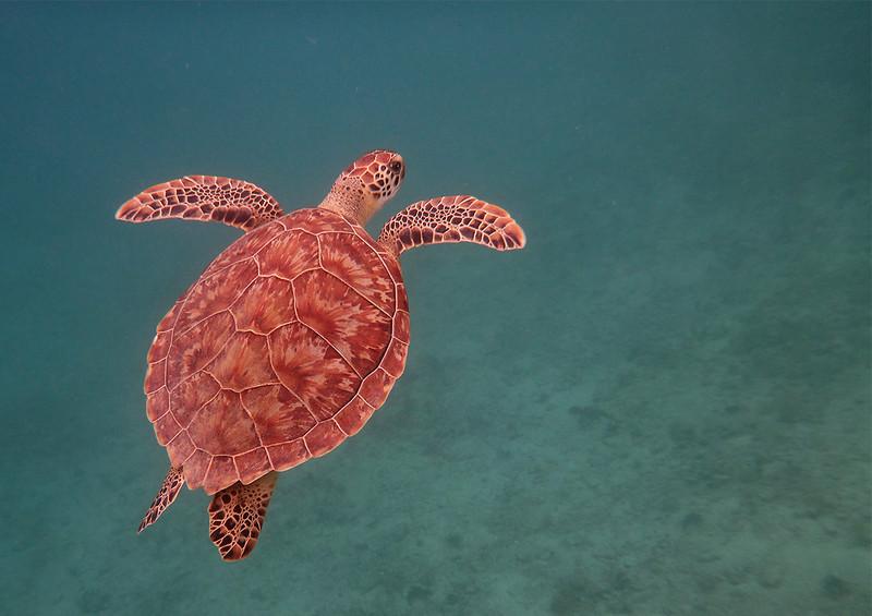Green Turtle<br /> <br /> Waterlemon Bay<br /> St. John, USVI<br /> March 2013