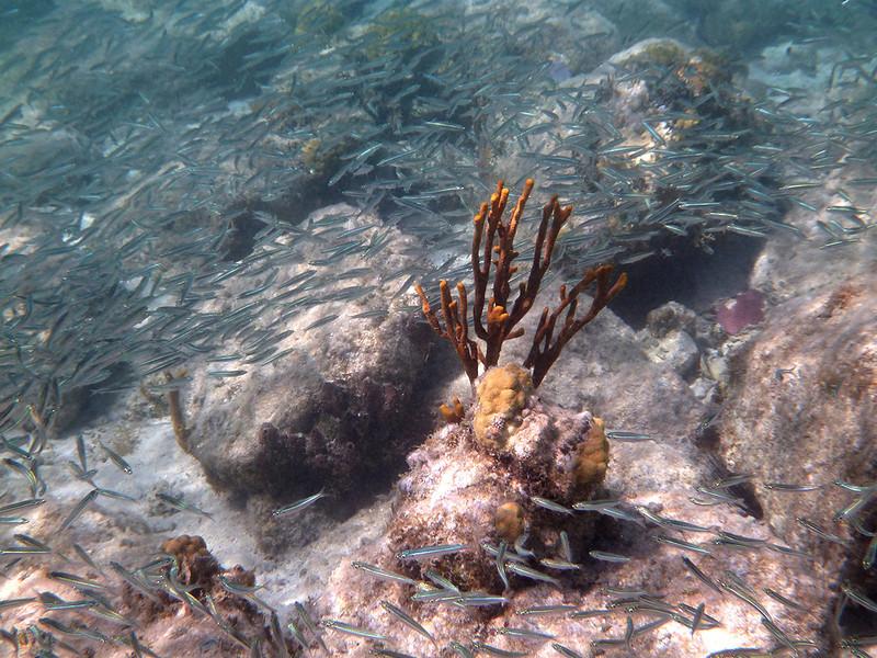underwater river of fish<br /> Salt Pond Bay<br /> <br /> St. John, USVI<br /> March 2013