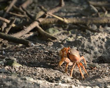 Land Crab  Cinnamon Bay Campground St. John, USVI March 2013