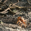 Land Crab<br /> <br /> Cinnamon Bay Campground<br /> St. John, USVI<br /> March 2013
