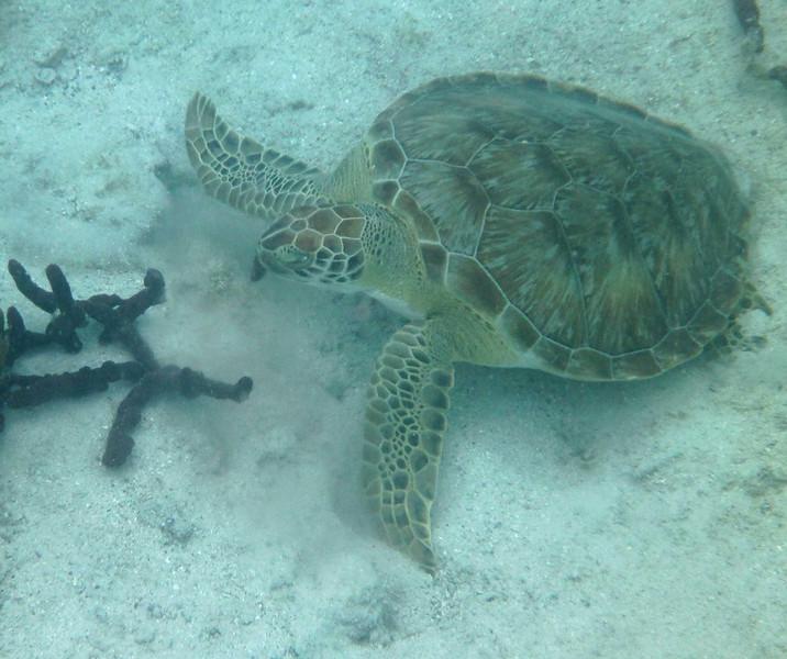 Green Turtle, munching <br /> <br /> Waterlemon Bay<br /> St. John, USVI<br /> March 2013