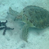 Green Turtle, munching <br /> <br /> Waterlemon Bay<br /> St. John, USVI<br /> March 2013