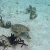 Green Turtle, lunch over<br /> <br /> Waterlemon Bay<br /> St. John, USVI<br /> March 2013