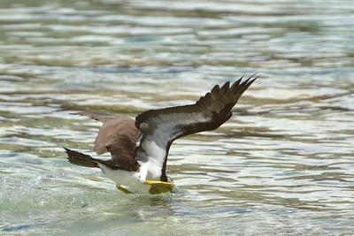 Brown booby going in Salt Pond Bay  St. John, USVI March 2013