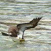 Brown booby going in<br /> Salt Pond Bay<br /> <br /> St. John, USVI<br /> March 2013