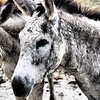 Donkey<br /> <br /> Cinnamon Bay Campground<br /> St. John, USVI<br /> March 2013