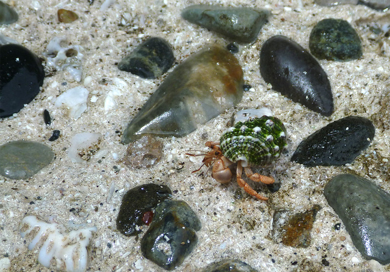 Hermit crab, moving on<br /> <br /> Whistling Cay<br /> St. John, USVI<br /> March 2013