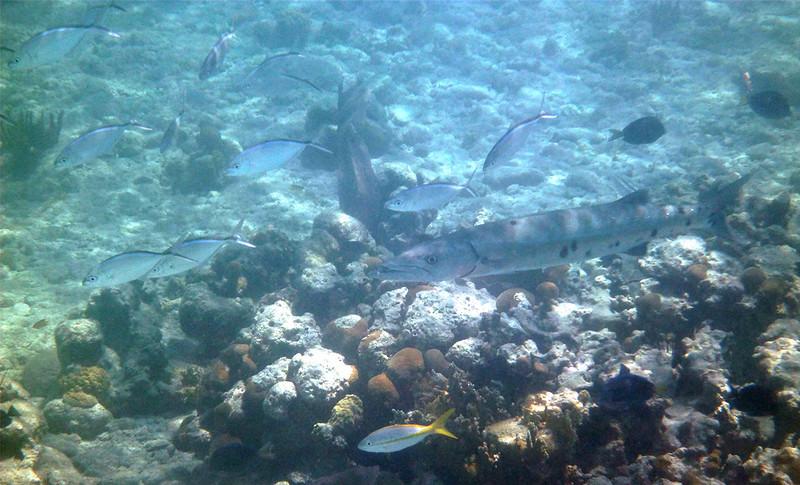Barracuda + entourage<br /> <br /> Cinnamon Bay<br /> St. John, USVI<br /> March 2013