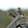 American Kestrel pair<br /> Annaberg ruins<br /> <br /> St. John, USVI<br /> March 2013