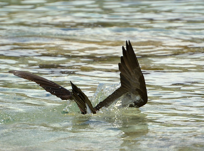 Brown booby, all the way in Salt Pond Bay  St. John, USVI March 2013