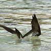 Brown booby, all the way in<br /> Salt Pond Bay<br /> <br /> St. John, USVI<br /> March 2013