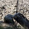 Log gnawed by beaver