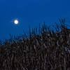 Moon over the cornfield