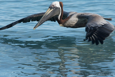 Brown Pelican, cruising