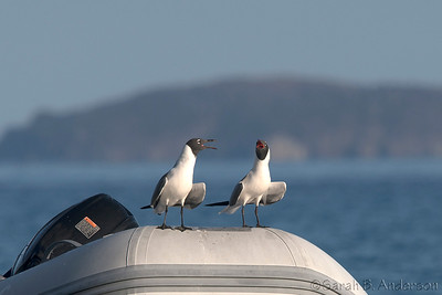 Laughing Gulls, Cinnamon Bay