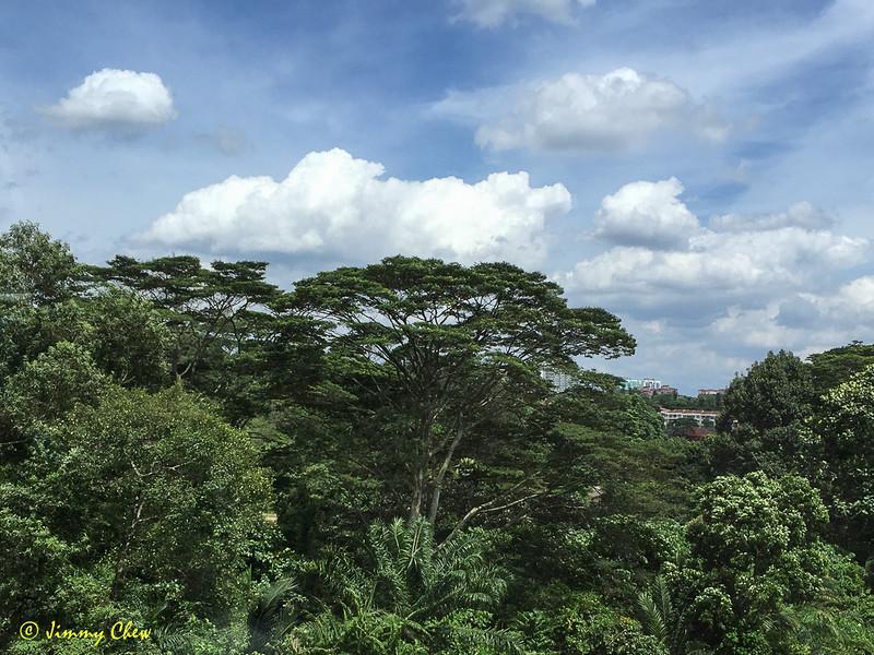 Beautiful rain tree.