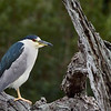 A series of a Black Crowned Night Heron in action.
