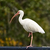 Ibis exercising. The one-legged stand. Squats next.