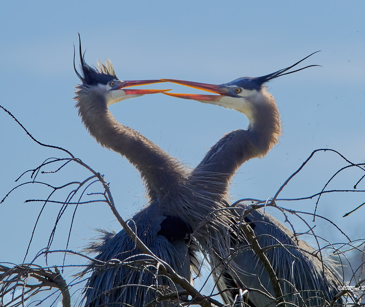 GBH in what I think is some kind of mating ritual.