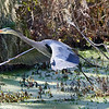 Same bird, one wing beat later - gaining altitude