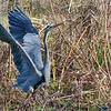 The GBH is a magnificent bird and it's wings are so pretty. It has quite a large wingspan as you will see in these photos.
