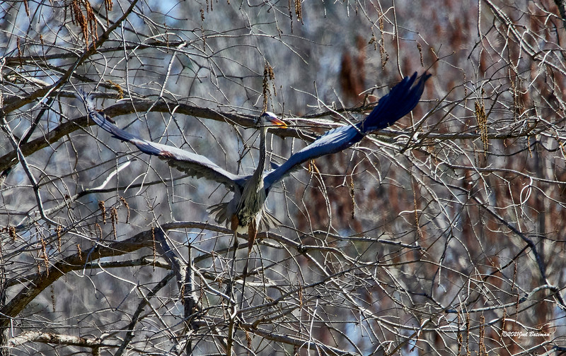 Coming out of tree with limb for nest.