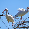 Many Ibis in the trees, sometimes 10 in the same tree. They are always in flocks.