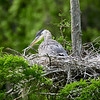 I have not shot at magnolia Gardens in about 1-1/2 months. My friends told me that we would see a chick in this nest. When I saw this bird, I asked where the chick was. Guess what It has grown this much in that period of time. Notice that the chicks never look happy!