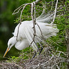 Great Egret with breeding plumage.