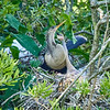 Anhinga with chick. The photo is not the best because it was at quite a distance and in the tree limbs but it is the only time I have ever been able to photo an Anhinga with a chick.